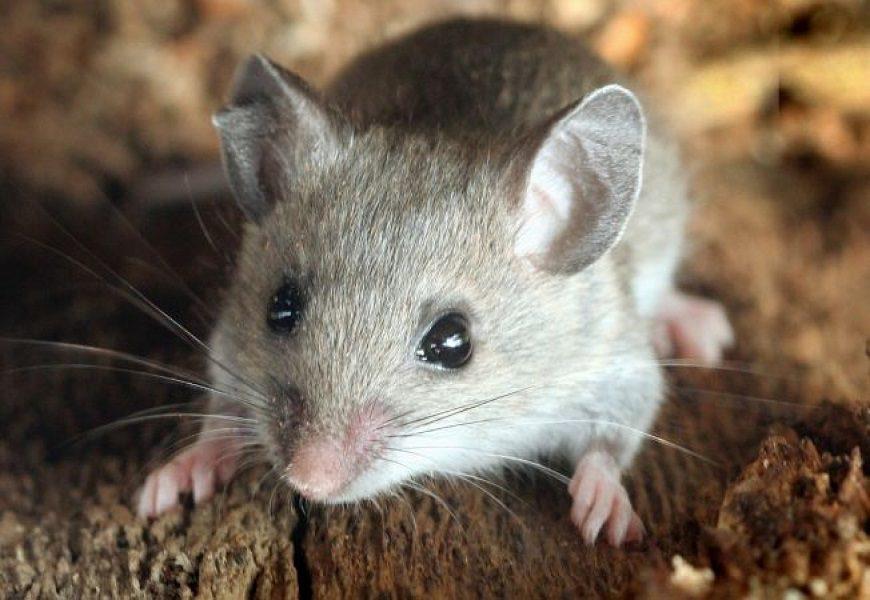 Загадки про мышь