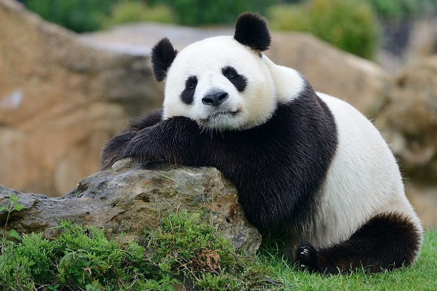 Загадки про панду