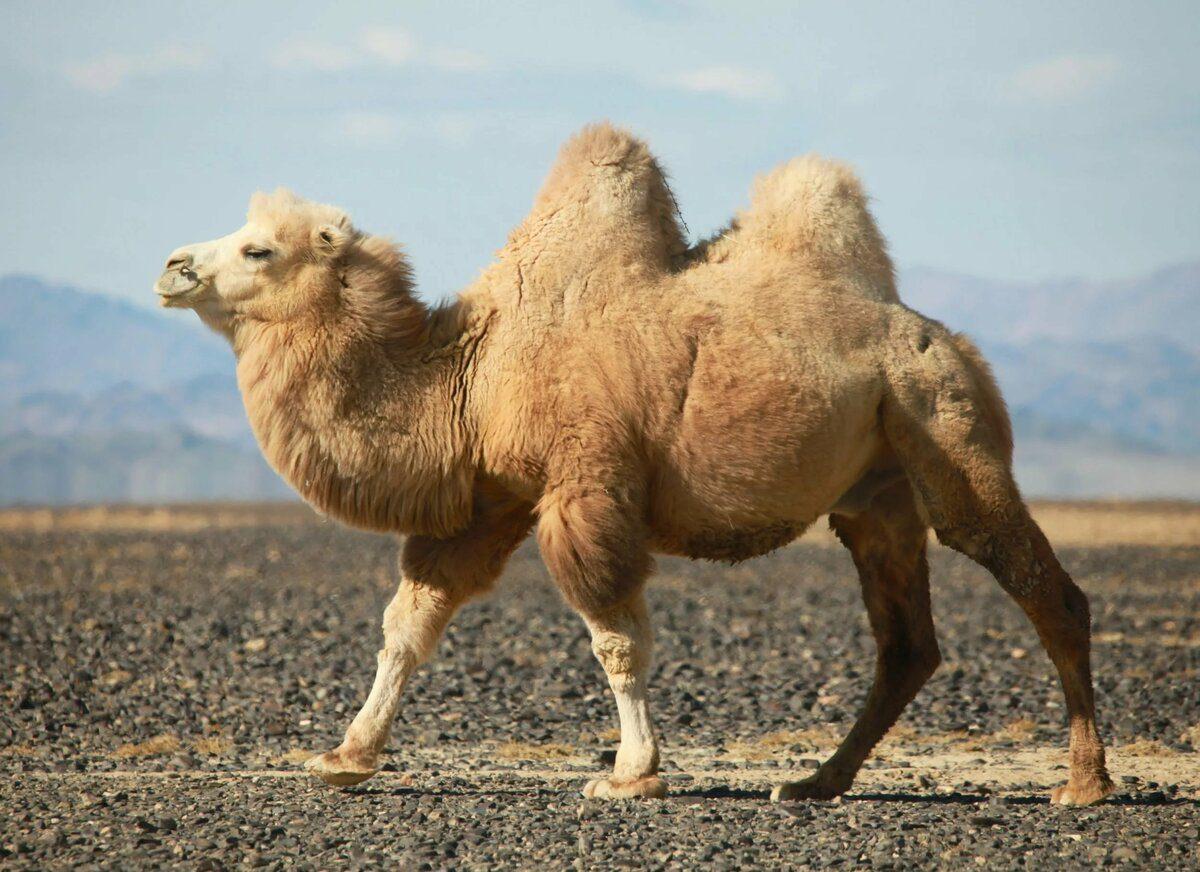 Загадки про верблюда