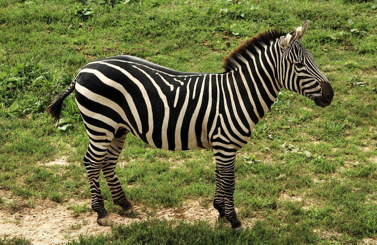 Загадки про зебру