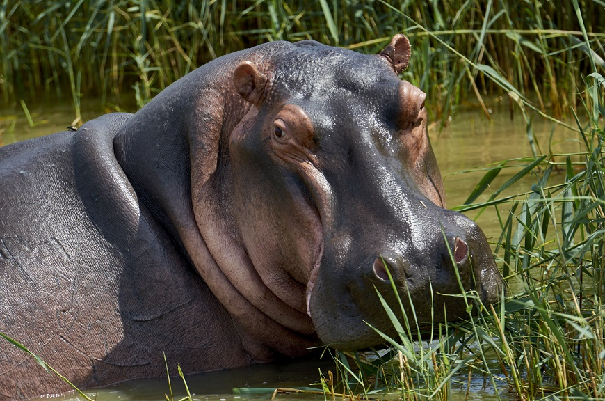 Загадки про бегемота