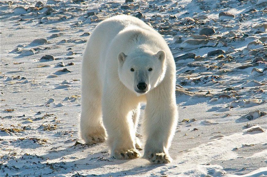 Загадки про белого медведя
