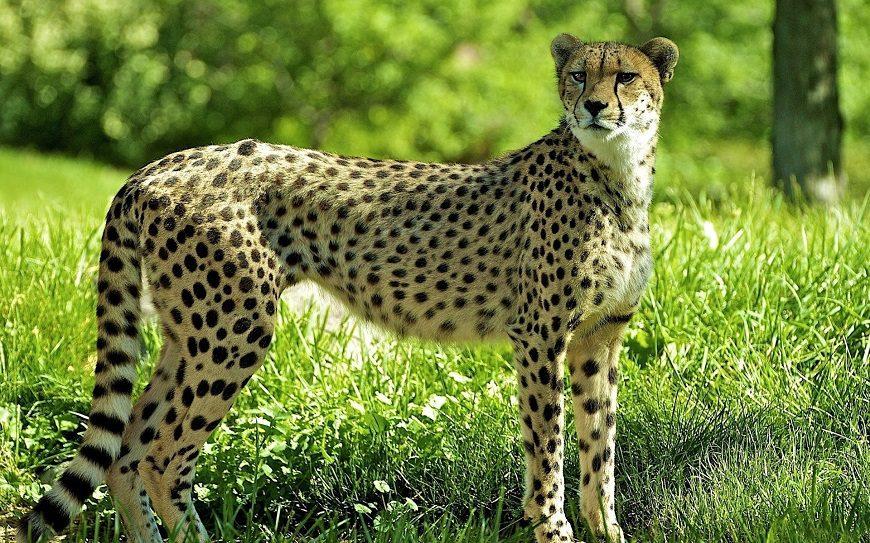Загадки про гепарда