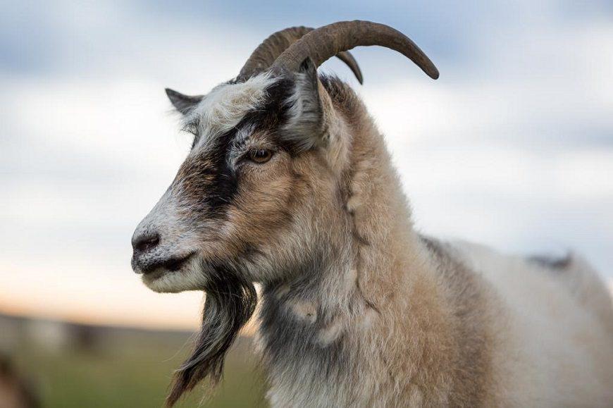 Загадки про козла
