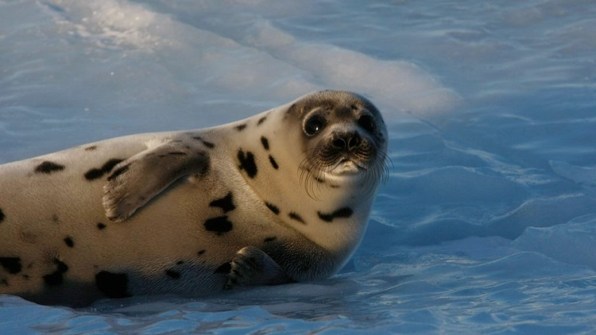 Загадки про тюленя
