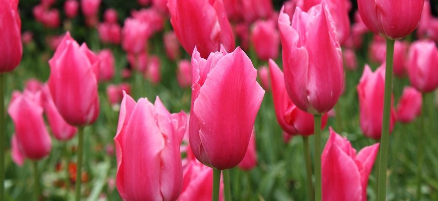 Загадки про тюльпан